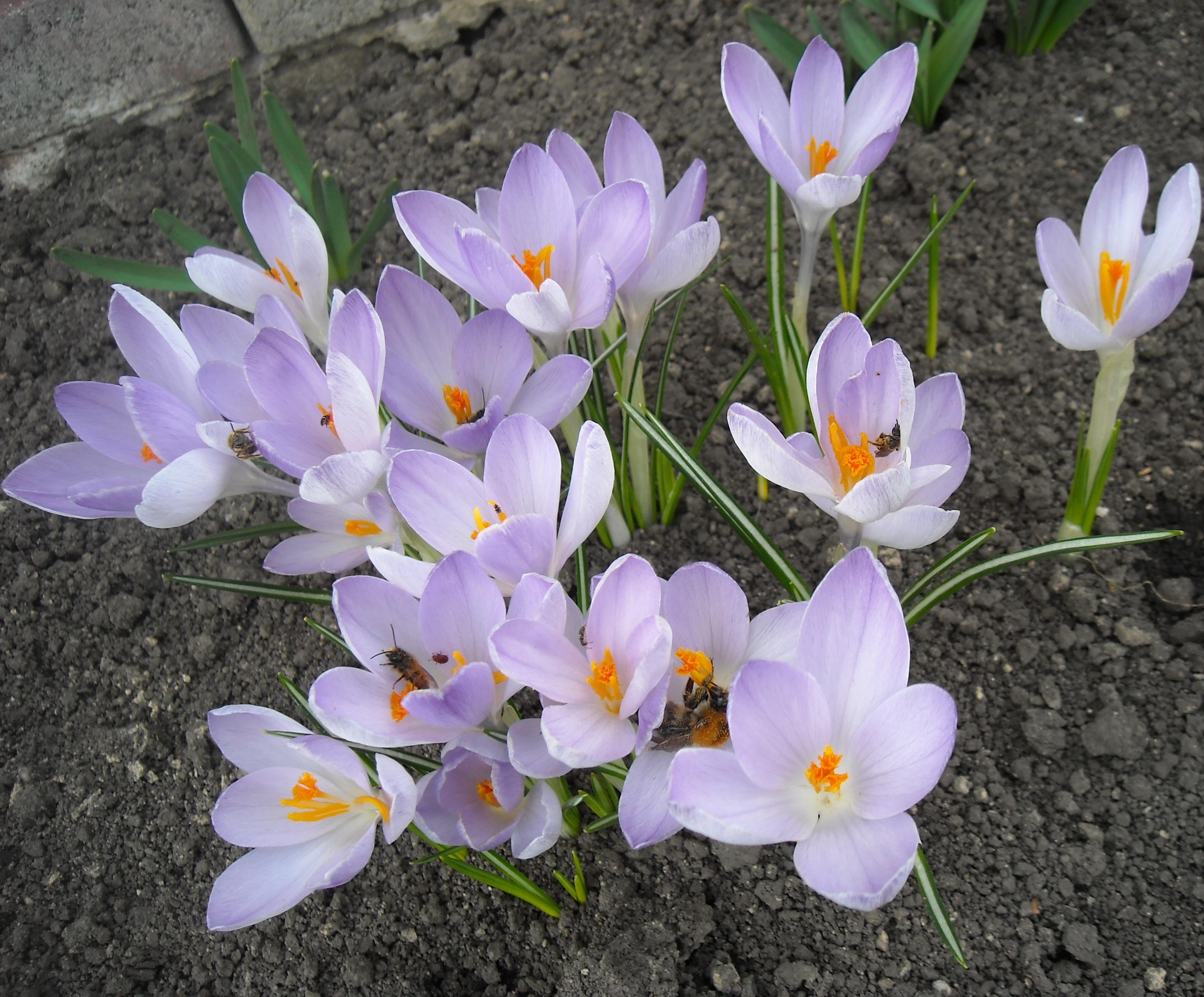 Крокуси перші весняні квіти які